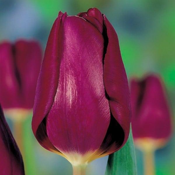 purplelady-100